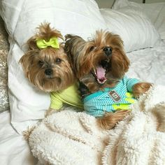 Everything we all respect about the Affectionate Yorkshire Terrier Dogs Cute Puppies, Cute Dogs, Yorshire Terrier, Silky Terrier, Top Dog Breeds, Yorky, Yorkshire Terrier Puppies, Yorkie Puppy, Lap Dogs