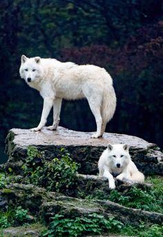 El lobo ártico, (Canis lupus arctos), también llamado lobo polar o lobo blanco, es un mamífero de la familia Canidae, y una subespecie del lobo. ANATOMÍA: Los lobos árticos tienden a ser más pequeños que el lobo común. Suelen ser de 1 a 2 metros de largo, incluyendo la cola; los machos son más grandes que las hembras.