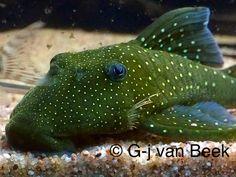 Freshwater Aquarium Fish, New Tank, Beautiful Fish, Catfish, Aquariums, Tropical Fish, Fish Tank, Fresh Water, Numbers