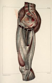 Inspirational Artworks: ANATOMY IMAGES Leg Muscles Anatomy, Human Body Anatomy, Human Anatomy And Physiology, Muscle Anatomy, Leg Anatomy, Anatomy Study, Anatomy Drawing, Anatomy Art, Drawing Art