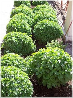 Grow Basil (Herb): Originated in Asia. Cultivated in approximately 12 different varieties. Vegetables great with tomatoes. Easily growing plant dried or fresh basil used for flavoring. Can be used dried but best used as fresh plant for full flavoring. Leaves are used for flavoring. Have white flowering of medium size. Substitutes: Marjoram, Mint.