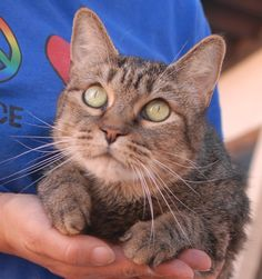 """Sweet Pea's previous owner suffered a severe stroke and could no longer care for her.  She is a lovely brown tabby with pleading eyes, previously declawed, 6 years of age and spayed, and ready for adoption at Nevada SPCA (www.nevadaspca.org).  Sweet Pea likes to sit close to you peacefully or watch """"cat TV (look out the windows at birds and people going by).  She offers gentle companionship."""
