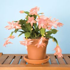 Christmas Cactus 'Christmas Fantasy' (Schlumbergera hybrid) one of the easiest plants to grow. Blooms in late fall to early winter Orchid Cactus, Cactus Flower, Flower Pots, Cactus Cactus, Cactus Decor, Christmas Cactus Plant, Easter Cactus, Cacti And Succulents, Planting Succulents
