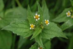 Free & healthy: 10 weeds that you can eat- Kostenlos & gesund: 10 Unkräuter, die man essen kann Weeds are more nutritious than vegetables! Utopia introduces 10 herbs that are often considered weeds but that you can eat. How healthy they are, shows … - Herbs For Health, Planting Vegetables, Edible Flowers, Herbal Medicine, Healthy Life, Eat Healthy, Weed, Herbalism, Home And Garden