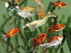 Duckling Swims Underwater Among Goldfish Fotoprint van Jane Burton bij AllPosters.nl