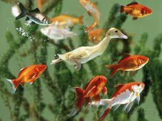 Duckling Swims Underwater Among Goldfish Fotoprint van Jane Burton bij AllPosters.nl