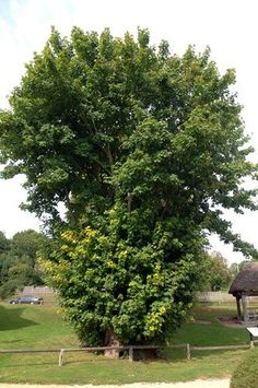 In pictures: Six of Britain's oldest trees