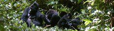 Uganda - Primate Safari to the 'Pearl of Africa' | Classic Escapes