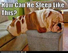How? #cute #sweet #puppy#english #bulldog #englishbulldog #bulldogs #breed #dogs #pets #animals #dog #canine #pooch #bully #doggy #funny