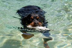 in the water Rottweiler Breed, Rottweiler Love, Funny Animals, Cute Animals, Dangerous Dogs, Cerberus, All About Animals, Rottweilers, Family Dogs