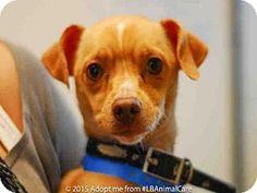 Long Beach, CA - Chihuahua Mix. Meet *IKE, a dog for adoption. http://www.adoptapet.com/pet/14355056-long-beach-california-chihuahua-mix