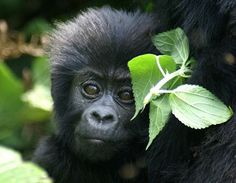 Find great tips on visiting Uganda, see attractions, safari companies and where to stay.