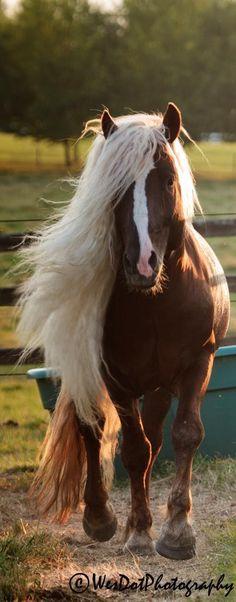 Black Forest stallion named Dante. Rare Horses, Wild Horses, Most Beautiful Animals, Beautiful Horses, Rare Horse Breeds, Horse Show Clothes, Barrel Racing Horses, Morgan Horse, Majestic Horse