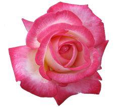 enter-the-transparent-world:  transparent rose