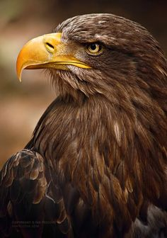 Real Predator by ivya-cz on DeviantArt Eagle Images, Eagle Pictures, Eagle Face, Bald Eagle, Lion Tattoo Sleeves, Eagle Wallpaper, Eagle Painting, Joker Images, Golden Eagle