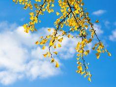 Ginkgo Dreaming by Nicholas Haggin on 500px