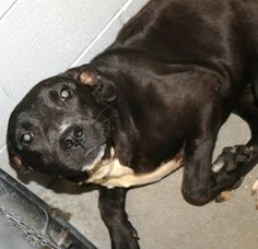Frieda: Sweet retriever mix  is running out of time at high-kill SC shelter