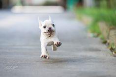 Cute French bulldog baby
