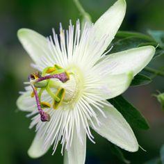 Passiflora caerulea Constance Elliott - Passion Flower - Dobbies Garden Centres