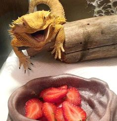 If you give your bearded dragon too much fruit, they may become spoiled and refuse vegetables.