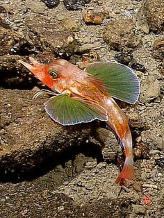 The bottom-dwelling sea robin has several sets of specialized fins, including some that allow the fish to swim and others that let it perch on the seafloor. (Cjech out all of these other deep-sea species. Deep Sea Animals, Deep Sea Creatures, Water Animals, Underwater Creatures, Underwater Life, Life Under The Sea, Beneath The Sea, Beautiful Fish, Orcas