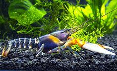 1 Live Zebra Crayfish/Freshwater Lobster (Beautiful Cherax Variant!) - 3+ inch Young Adult by Aquatic Arts