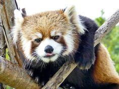 Red panda, Maruyama Zoo