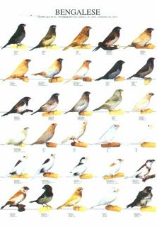 Bengalese Finch - Society finch http://finchesvarieties.blogspot.ro/2012/03/bengalese-finch-society-finch.html