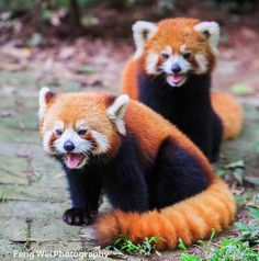 Dinner Time by Feng Wei Photography on Flickr. Two adorable red panda, drooling over the coming food