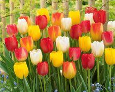 40 Tulipes 'Triomphe' en mélange