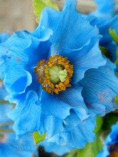 Ruffled Blue Poppy in Scotland Perfection. Exotic Flowers, Beautiful Flowers, Blue Poppy, Blue Garden, Plantation, Flower Pictures, Mother Nature, Flower Power, Planting Flowers
