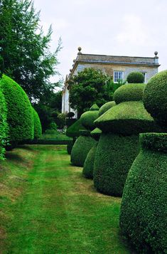 Crisply-clipped yew topiary (Taxus baccata) the king of the hedges and not as slow-growing as you'd think.