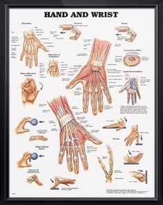 Hand and Wrist anatomy poster provides views of cross section of wrist, carpal tunnel syndrome, various types of fractures. Muscles chart for doctors and nurses.