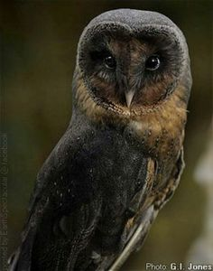 Rare black barn owl
