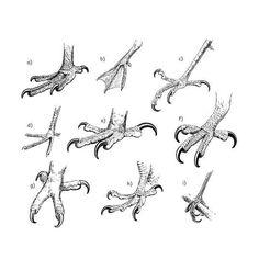 Birds of Prey: Quiz Solution: Talons (Science Trek: Idaho Public . Bird Drawings, Animal Drawings, Drawing Birds, Feet Drawing, Wie Zeichnet Man Manga, Animal Sketches, Drawing Techniques, Drawing Lessons, Bird Art