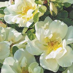 Original oil painting of a rose by Linda Alexander. Rose Oil Painting, Oil Painting Texture, Watercolor Flowers, Watercolor Art, Sunflower Wallpaper, Classic Paintings, Botanical Drawings, Rose Art, Clematis