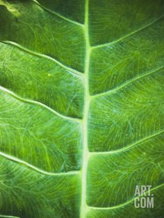 Large Tropical Green Leaf with Veins Pattern Close-Up, Belize Photographic Print by James Forte at Art.com