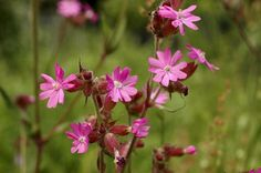 Silene dioica Red Campion The vivid pink flowers of this delicate plant really perk up the mix. It likes a bit of shade and moist soil, so you're likely to see it thrive if your growing conditions offer this.
