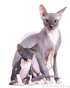 Sphinx, Mom Cat And Kitten © Lilun | Dreamstime.com