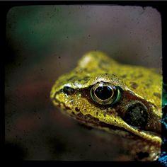 frog by Bearseye, via Flickr