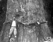 """One of the world's oldest cypress trees caught fire on Monday, January 16, 2012 and collapsed in Central Florida.  """"The Senator"""" was roughly 3,500 years old. Parks officials say the tree reached a height of 165 feet before a 1925 hurricane lopped off its top."""
