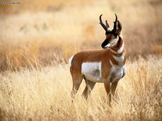 antelope | natural wild life antelope antelope is a term referring to many even ... The Bambara people attribute teh invention of agriculture to an antelope.