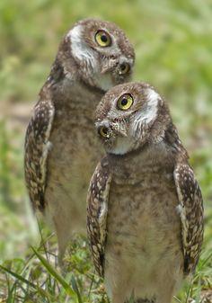 Burrowing Owls ... Van de ene kant bekeken amice .... Ja, maar van de andere kant is het ook mogelijk dat ... Mmmmm