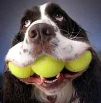 A Springer Spaniels love for tennis balls. My Bosun could do this, to torment his brother Chip.