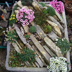 Alpine Garden Society Online Show, 2012 - On-line Shows - Alpine Garden Society . Alpine Garden So Alpine Garden, Alpine Plants, Small Succulents, Planting Succulents, Dream Garden, Garden Art, Garden Design, Rockery Garden, Small Gardens