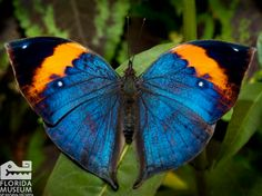 Congratualtions UF on the SEC Championship! Even this Orange and Blue Indian Leafwing (Kallima paraletka) is showing its Gator spirit.  Florida Museum of Natural History photo by Eric Zamora