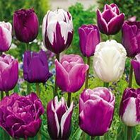 Shop hundreds of tulips for sale for fall planting. Breck's offers the best tulip bulb selection. Shop purple tulips, red tulips, yellow tulips, parrot tulips, darwinhybrid tulips and many more. Act now and save up to plus a lifetime guarantee. Shade Flowers, Pink And Purple Flowers, Bulb Flowers, Tulips Flowers, Daffodils, Spring Flowers, Beautiful Flowers, Blue Tulips, Roses