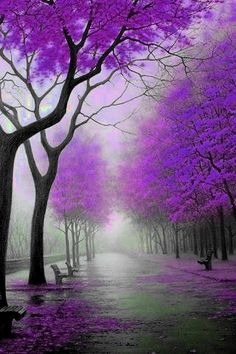 These pretty purple trees brought to u by Gina Browning....big hug to her for sharing, she's so sweet to share the world with the world! Many of my pins of the world came from her. Giving credit where credit is due...but many travel pics r mine...thanks Gina ❥-Mari Marxuach Parrilla