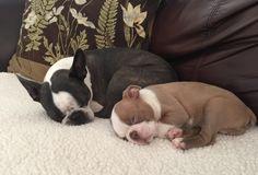 "Lilac Luxley ""Lux"" & Bella Blue ~ Boston Terriers"