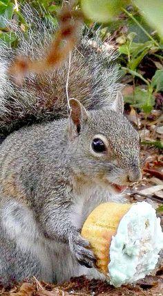 ardilla squirrels pinterest eichh rnchen. Black Bedroom Furniture Sets. Home Design Ideas